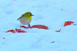 雪の上を歩くメジロ (Japanese White-eye walk on the snow)