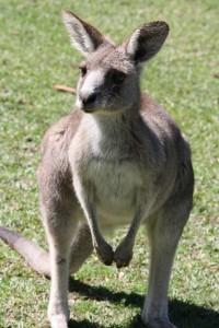 kangaroo-499297_1280
