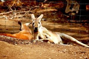 kangaroos-594340_1280